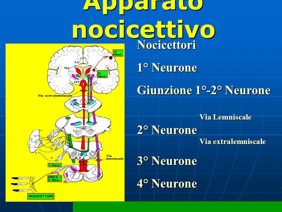 Apparato nocicettivo Nocicettori 1° Neurone Giunzione 1°-2° Neurone