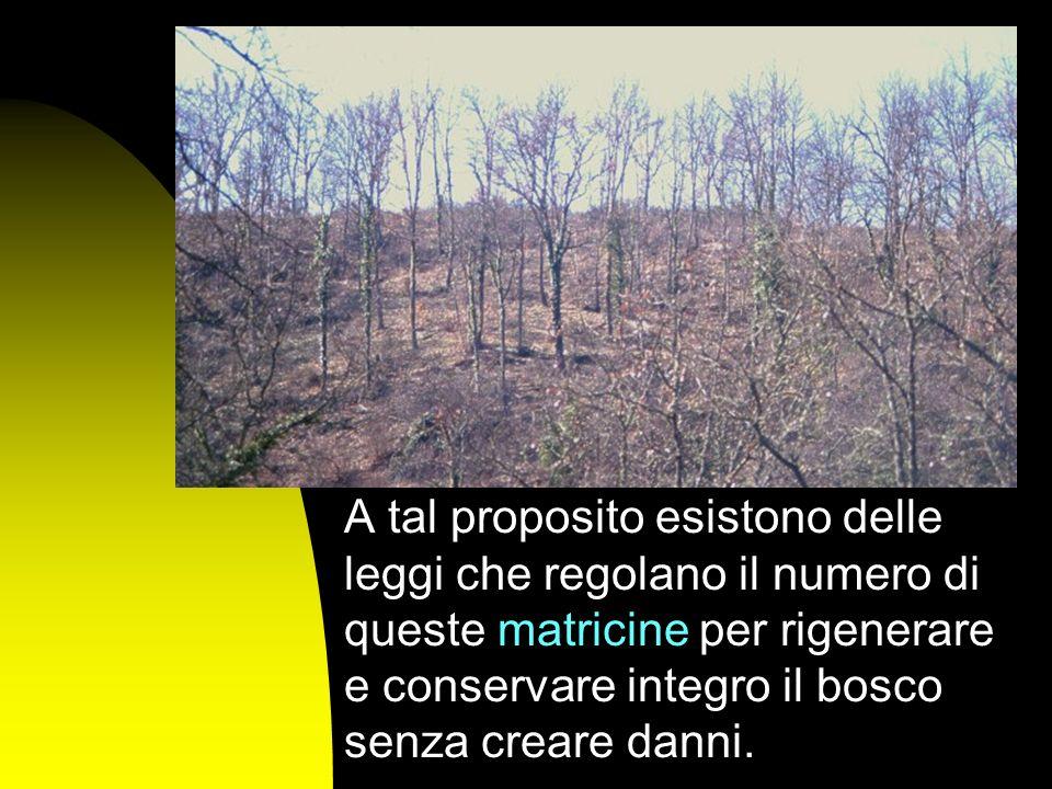 A tal proposito esistono delle leggi che regolano il numero di queste matricine per rigenerare e conservare integro il bosco senza creare danni.