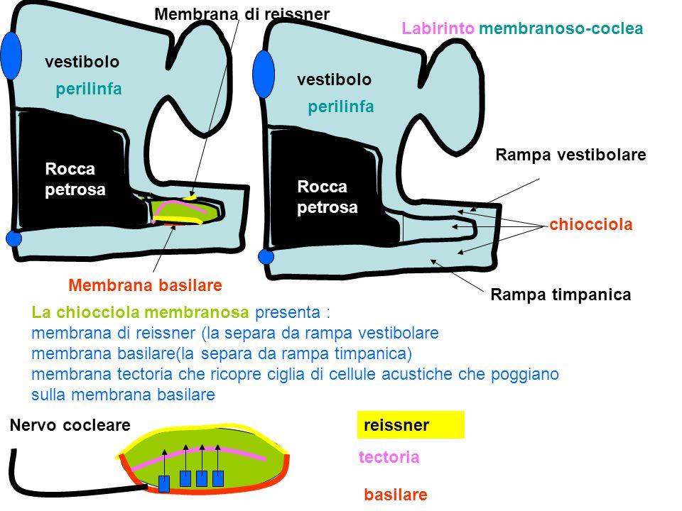 Membrana di reissner vestibolo. Rampa vestibolare. Rampa timpanica. perilinfa. Rocca petrosa. chiocciola.