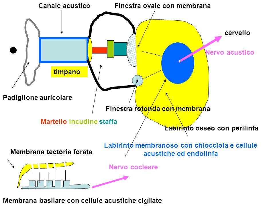 Labirinto membranoso con chiocciola e cellule acustiche ed endolinfa