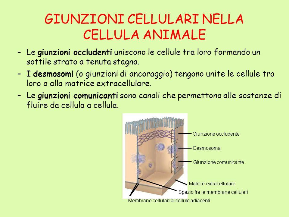 GIUNZIONI CELLULARI NELLA CELLULA ANIMALE