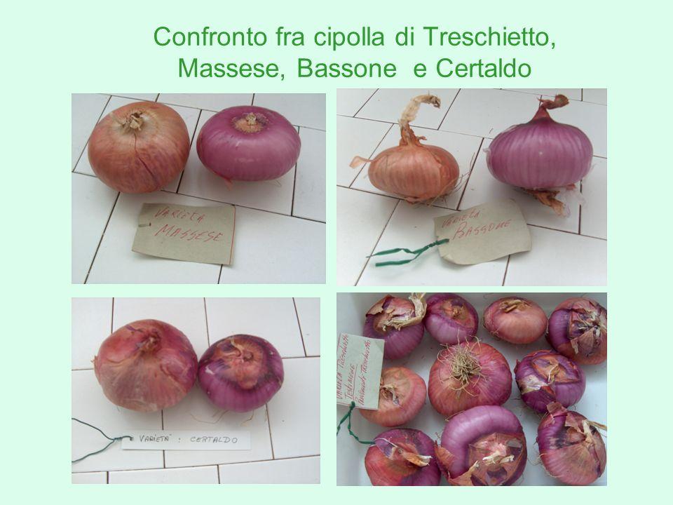 Confronto fra cipolla di Treschietto, Massese, Bassone e Certaldo