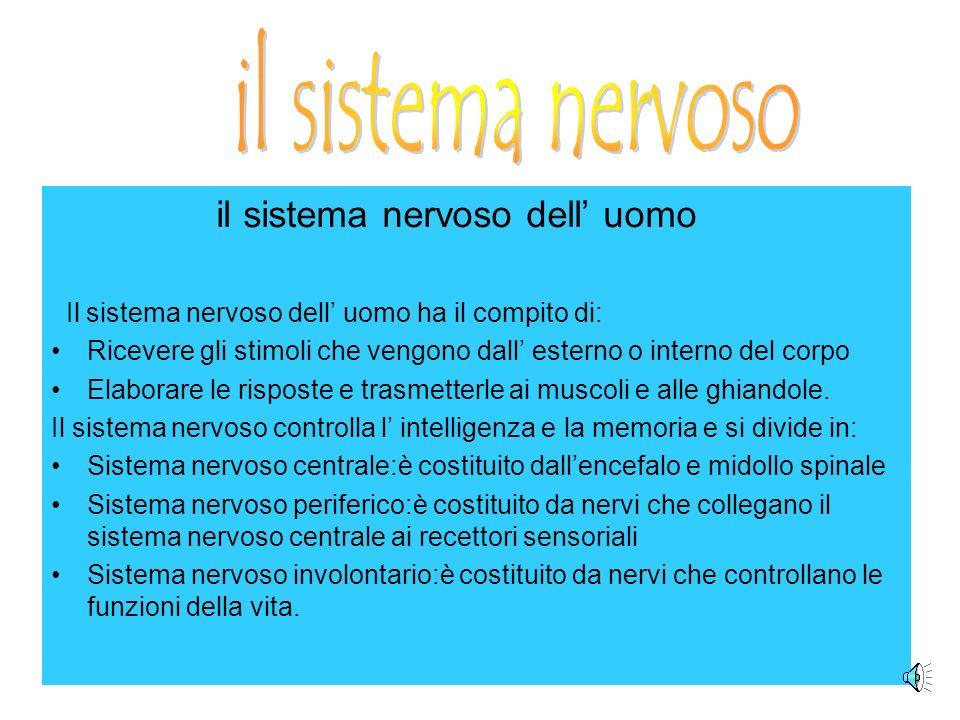 il sistema nervoso il sistema nervoso dell' uomo