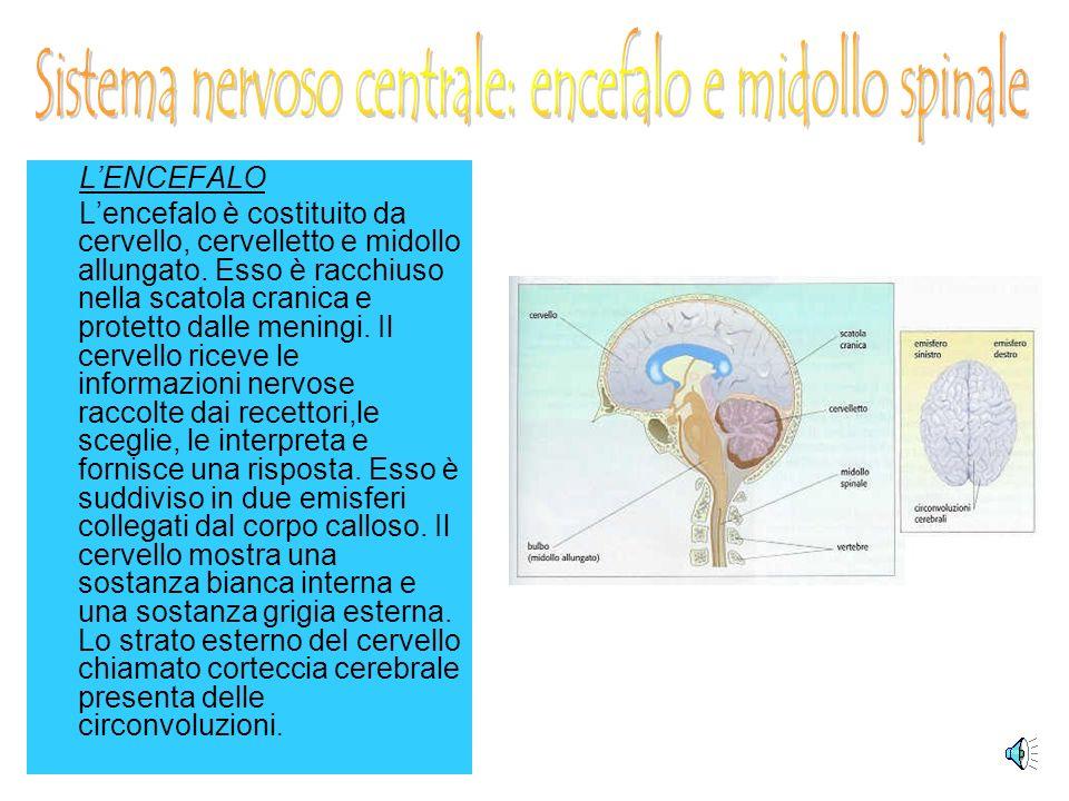 Sistema nervoso centrale: encefalo e midollo spinale