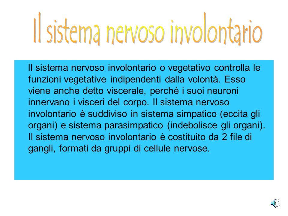 Il sistema nervoso involontario