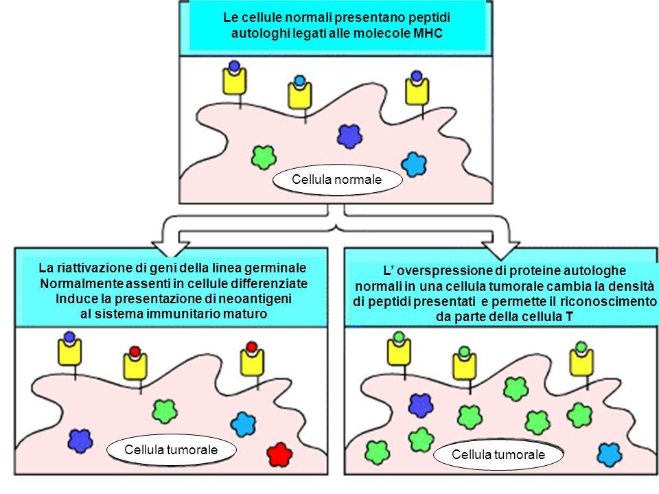 Le cellule normali presentano peptidi