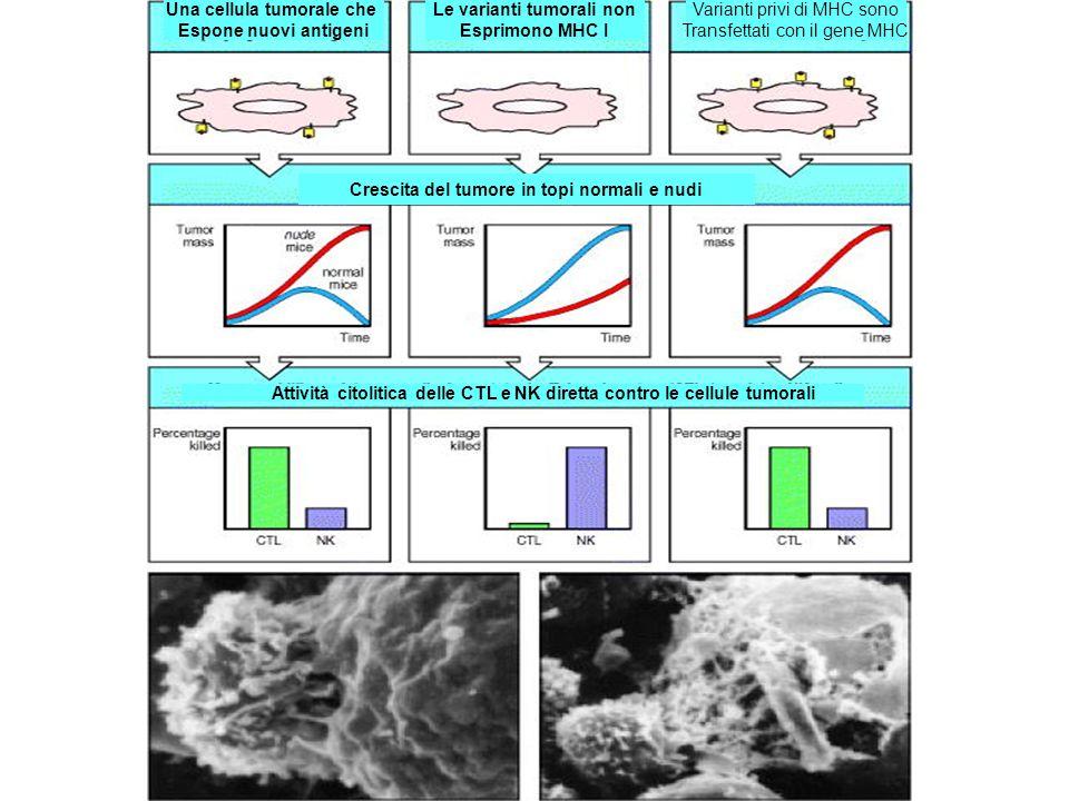Una cellula tumorale che Espone nuovi antigeni