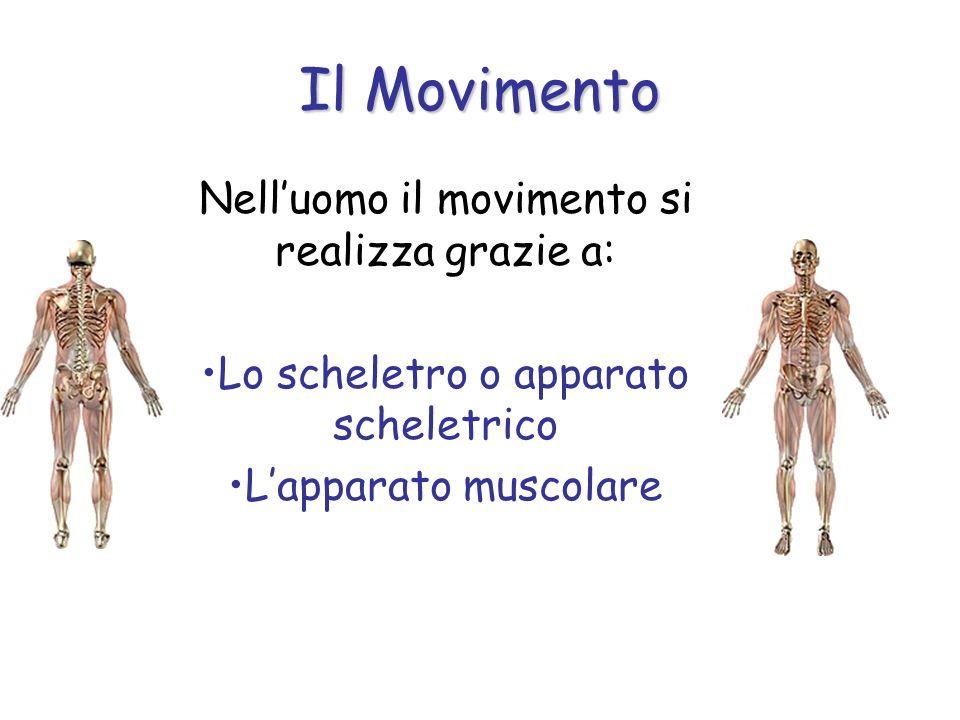 Il Movimento Nell'uomo il movimento si realizza grazie a: