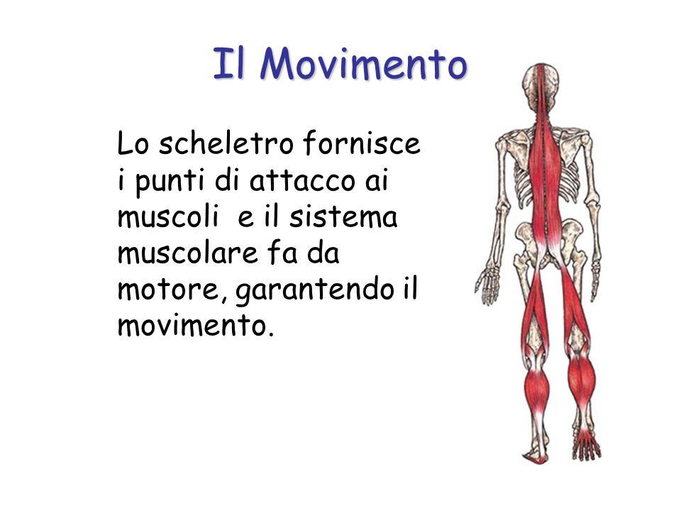 Il Movimento Lo scheletro fornisce i punti di attacco ai muscoli e il sistema muscolare fa da motore, garantendo il movimento.