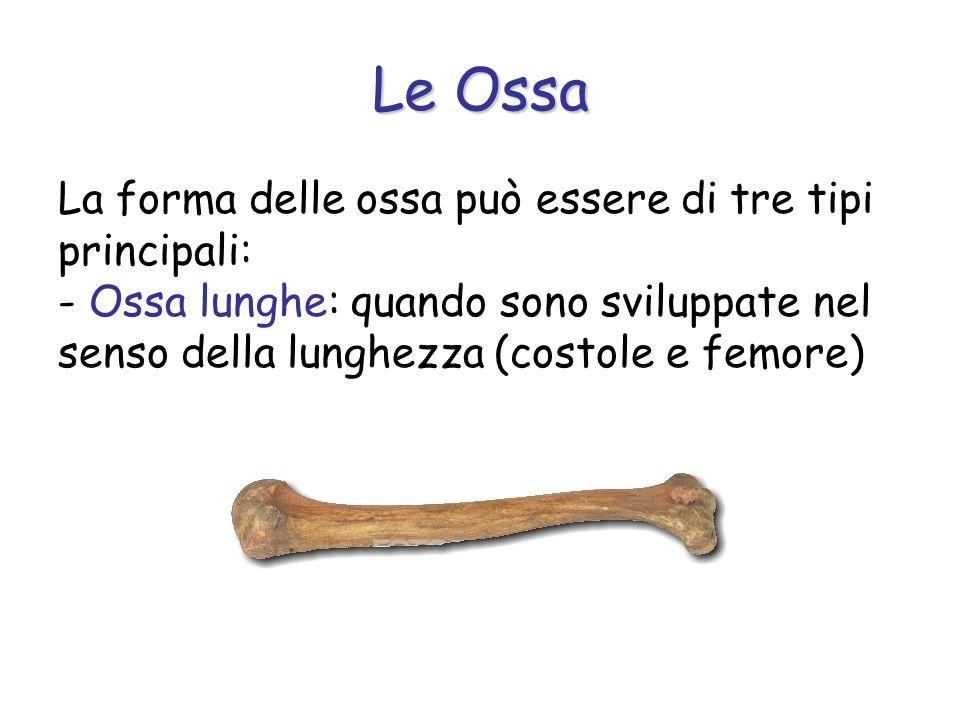 Le Ossa La forma delle ossa può essere di tre tipi principali: - Ossa lunghe: quando sono sviluppate nel senso della lunghezza (costole e femore)