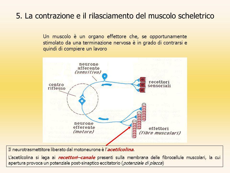 5. La contrazione e il rilasciamento del muscolo scheletrico