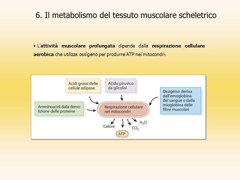 6. Il metabolismo del tessuto muscolare scheletrico