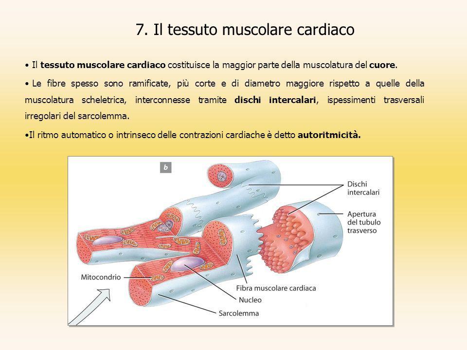 7. Il tessuto muscolare cardiaco