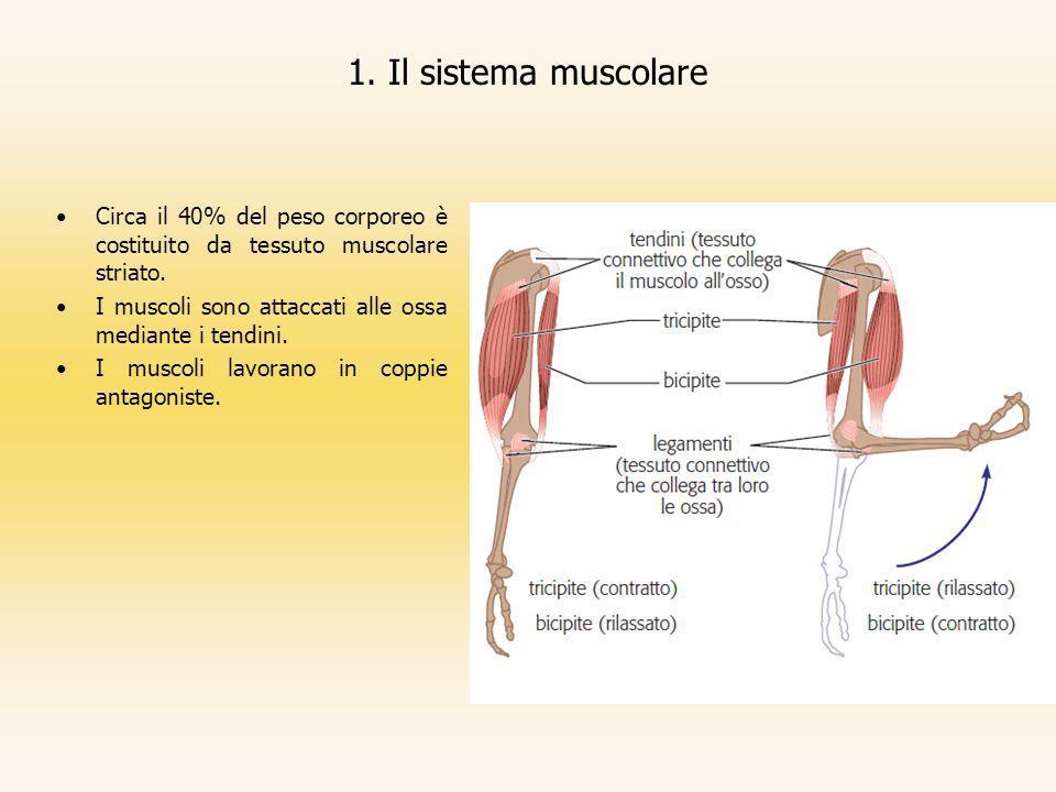 1. Il sistema muscolare Circa il 40% del peso corporeo è costituito da tessuto muscolare striato.