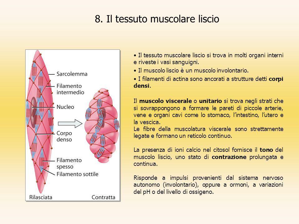 8. Il tessuto muscolare liscio