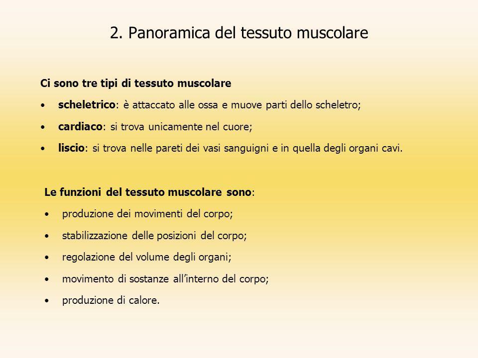 2. Panoramica del tessuto muscolare