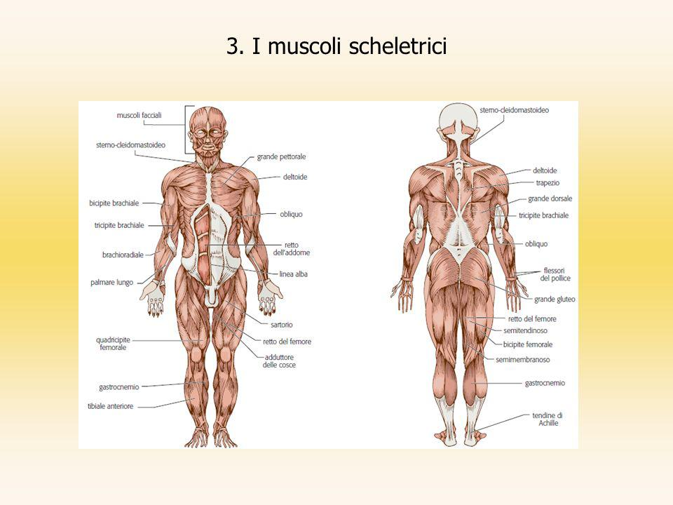 3. I muscoli scheletrici