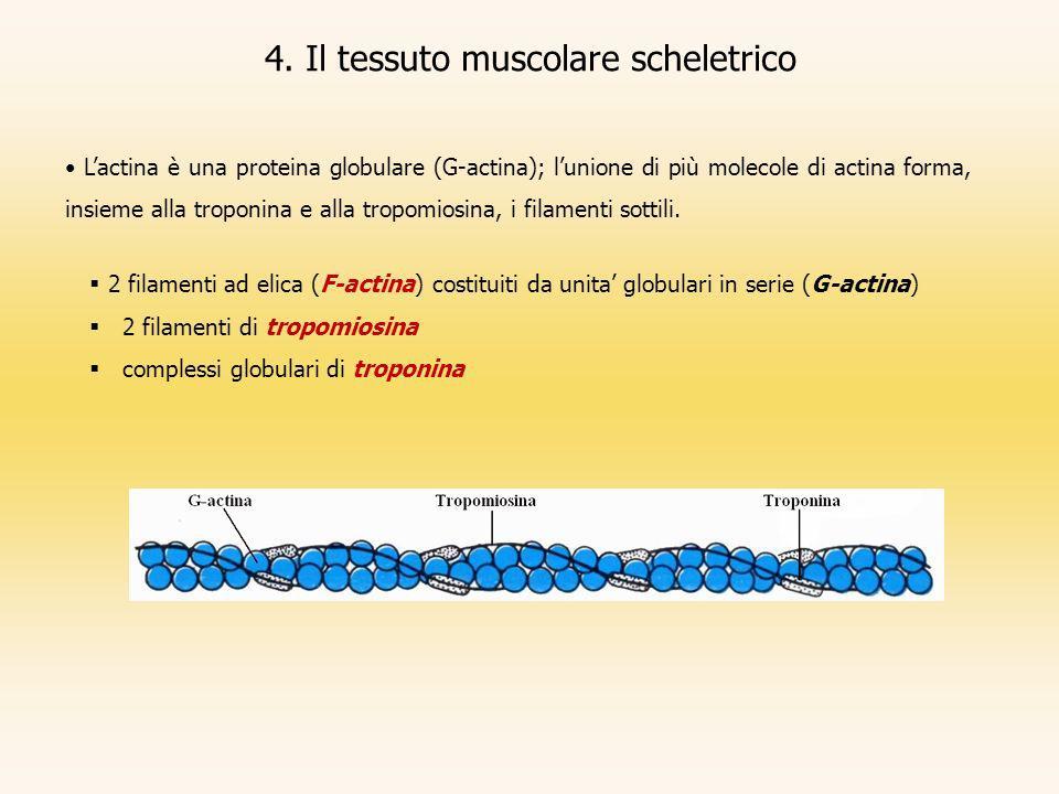 4. Il tessuto muscolare scheletrico