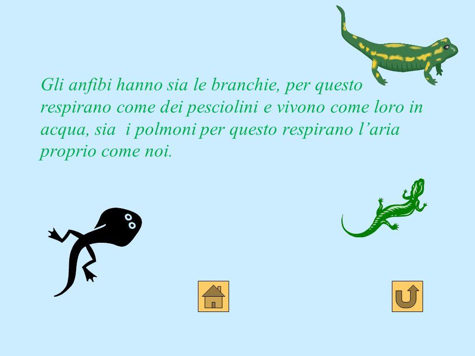 Gli anfibi hanno sia le branchie, per questo respirano come dei pesciolini e vivono come loro in acqua, sia i polmoni per questo respirano l'aria proprio come noi.