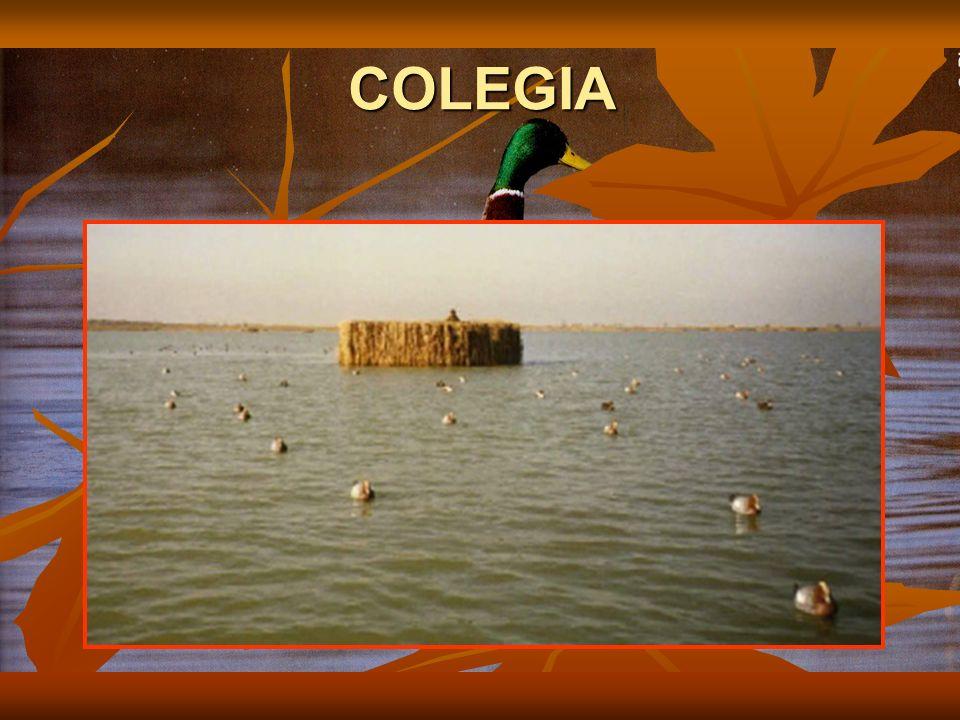 COLEGIA