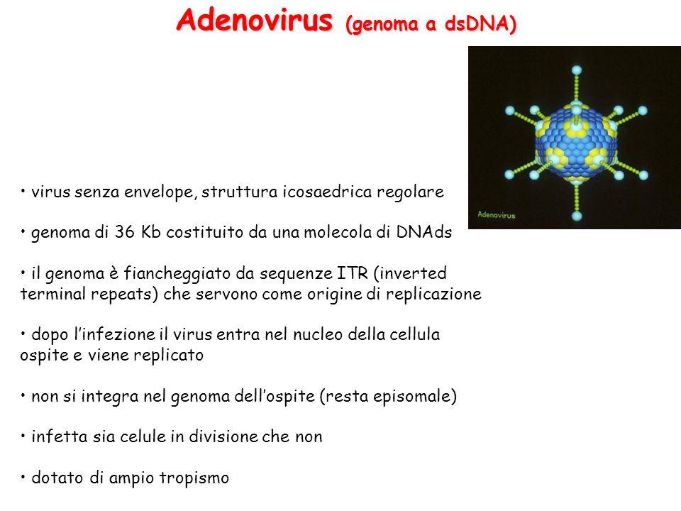 Adenovirus (genoma a dsDNA)