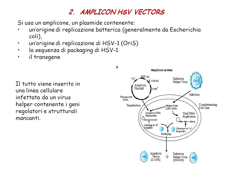 AMPLICON HSV VECTORS Si usa un amplicone, un plasmide contenente:
