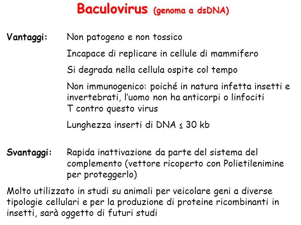 Baculovirus (genoma a dsDNA)