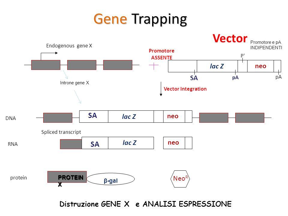 Gene Trapping Vector SA SA lac Z neo SA lac Z neo lac Z neo NeoR
