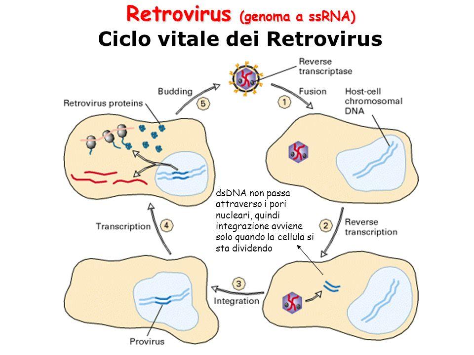 Retrovirus (genoma a ssRNA) Ciclo vitale dei Retrovirus