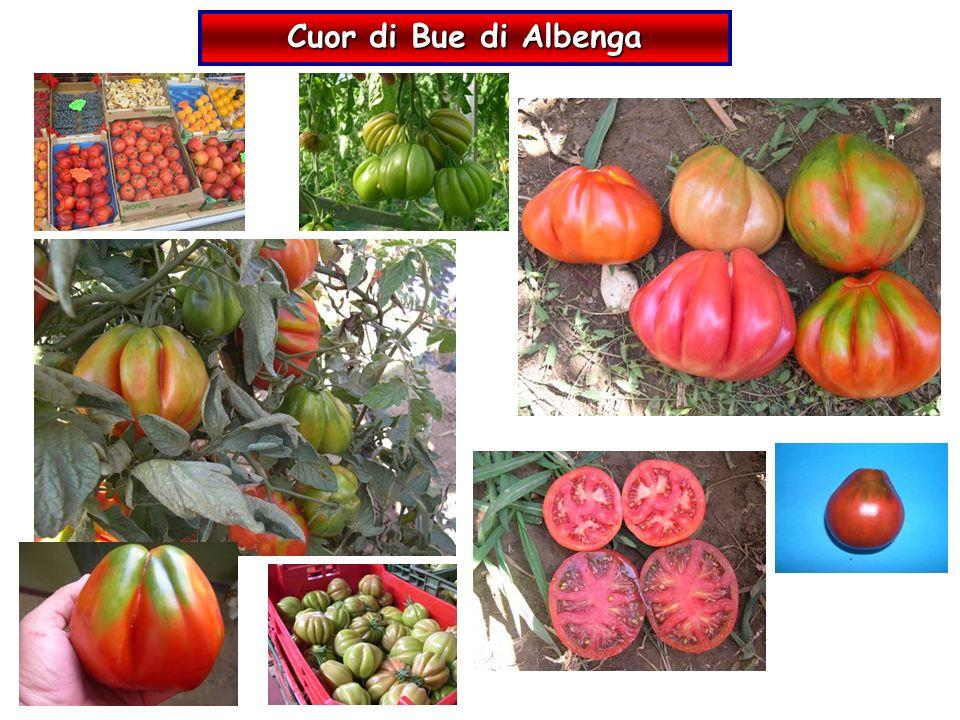 Cuor di Bue di Albenga 19