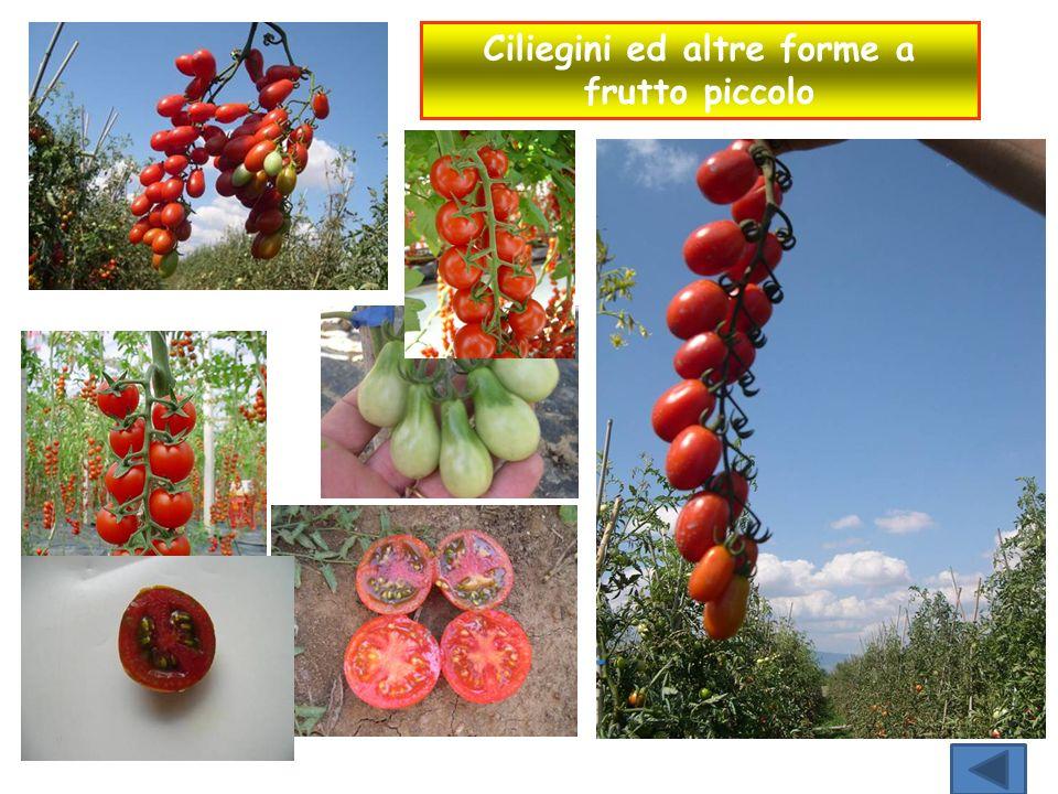 Ciliegini ed altre forme a frutto piccolo
