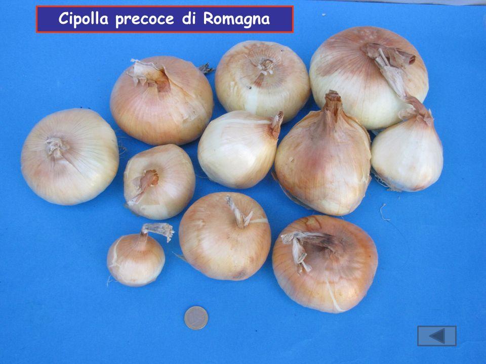 Cipolla precoce di Romagna