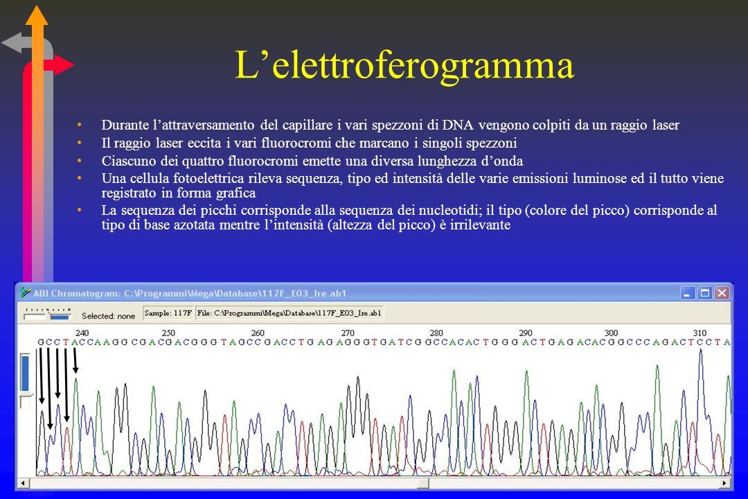 L'elettroferogramma Durante l'attraversamento del capillare i vari spezzoni di DNA vengono colpiti da un raggio laser.