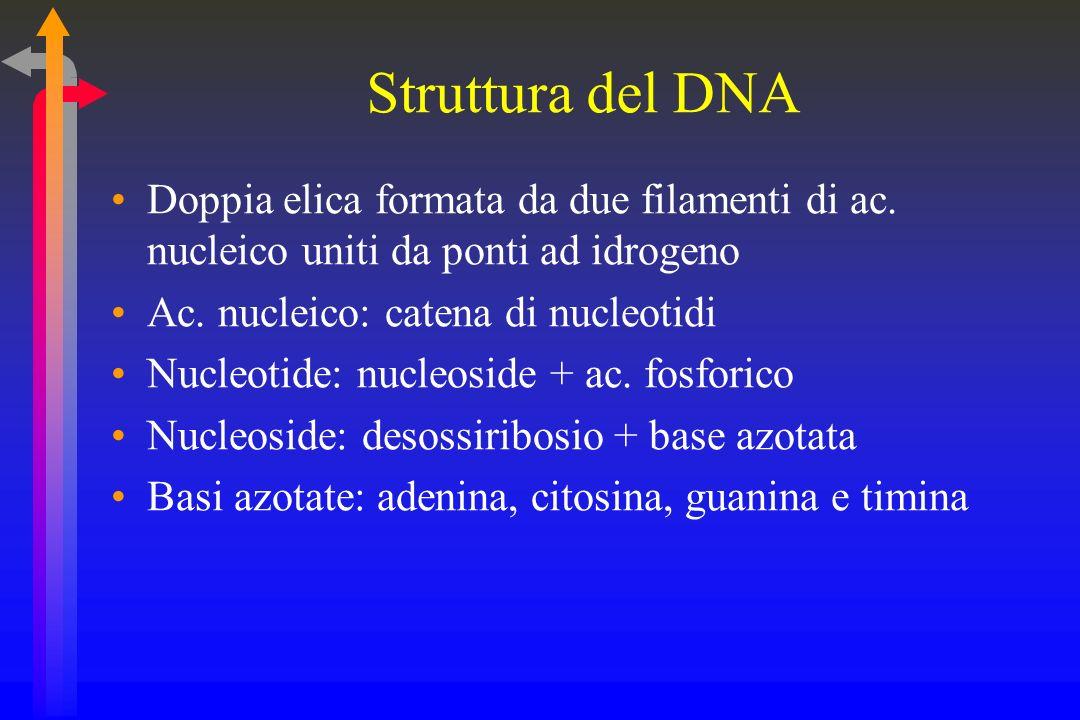 Struttura del DNA Doppia elica formata da due filamenti di ac. nucleico uniti da ponti ad idrogeno.
