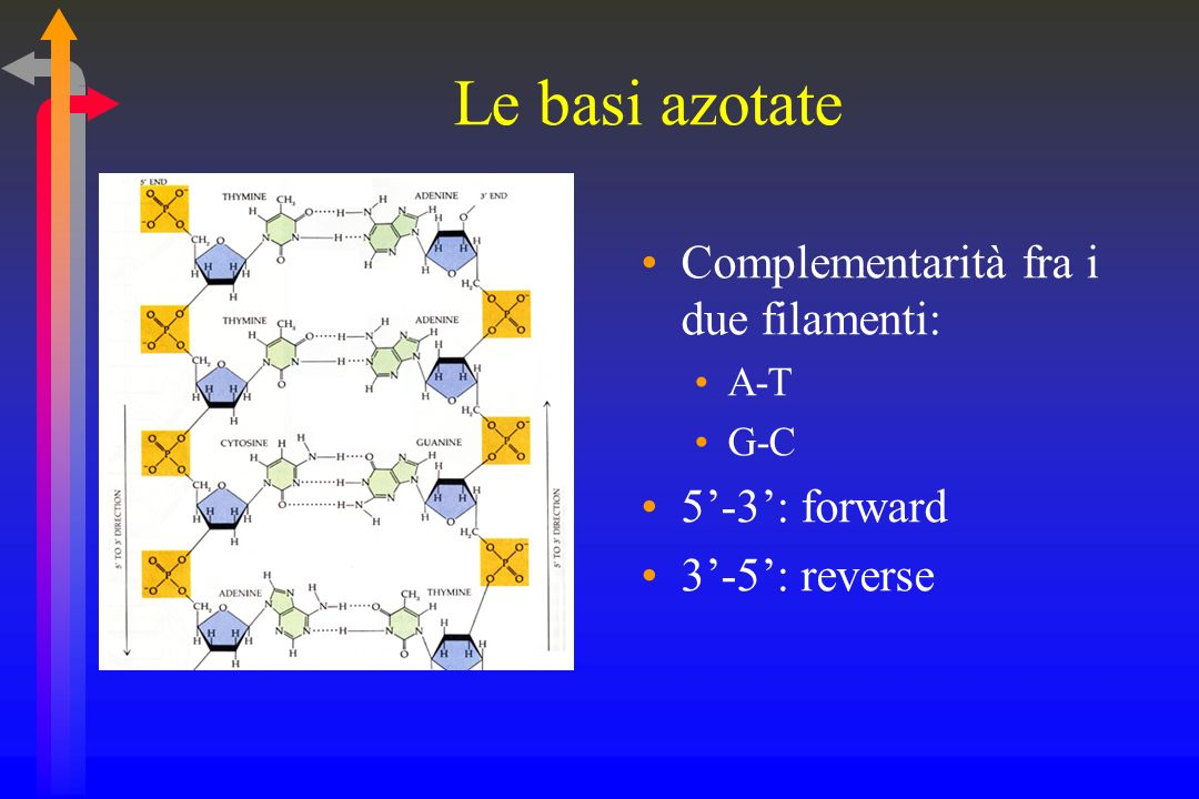 Le basi azotate Complementarità fra i due filamenti: 5'-3': forward