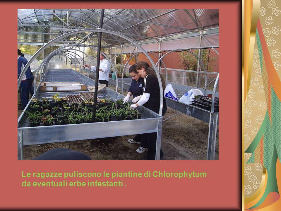 Le ragazze puliscono le piantine di Chlorophytum da eventuali erbe infestanti .