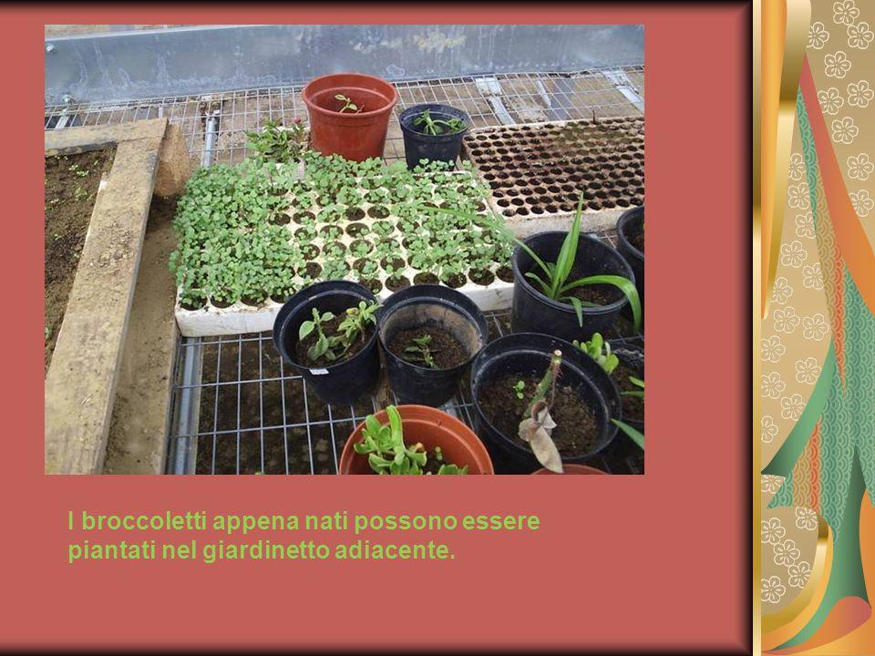 I broccoletti appena nati possono essere piantati nel giardinetto adiacente.