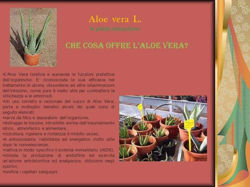 Aloe vera L. la pianta miracolosa.