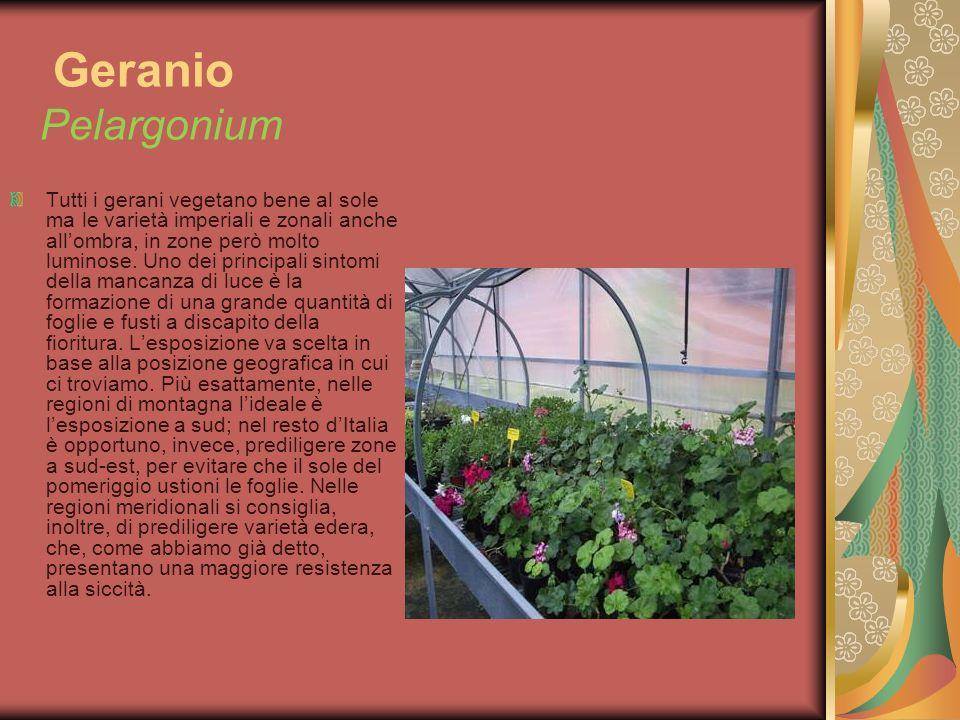 Geranio Pelargonium