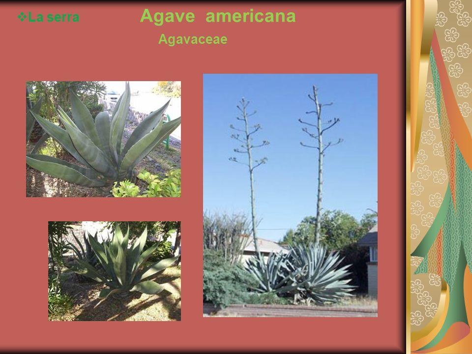 La serra Agave americana Agavaceae