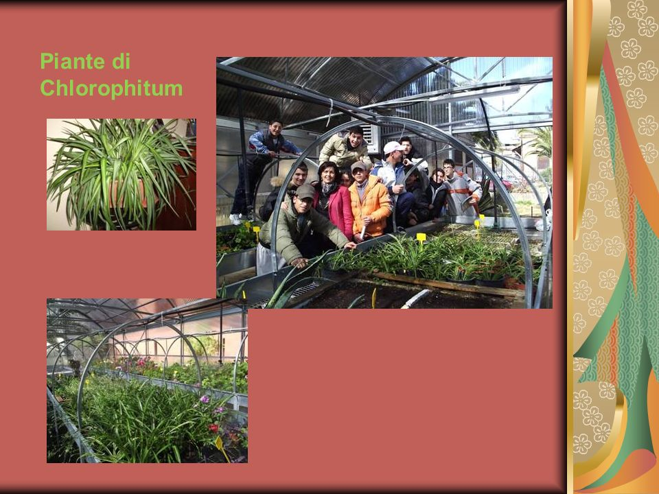 Piante di Chlorophitum