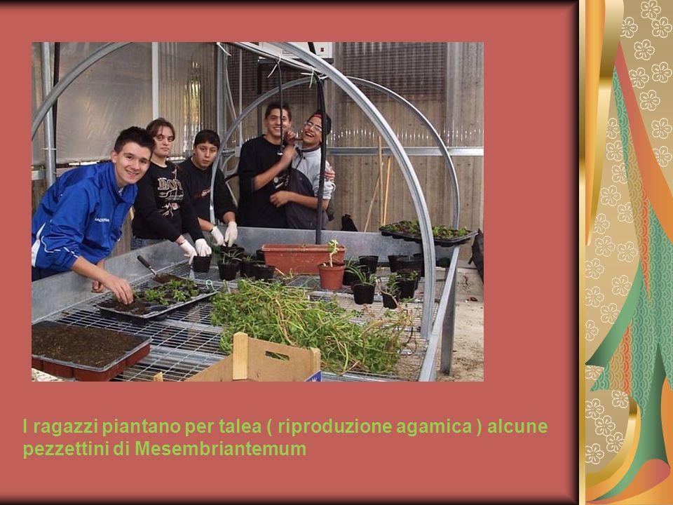 I ragazzi piantano per talea ( riproduzione agamica ) alcune pezzettini di Mesembriantemum