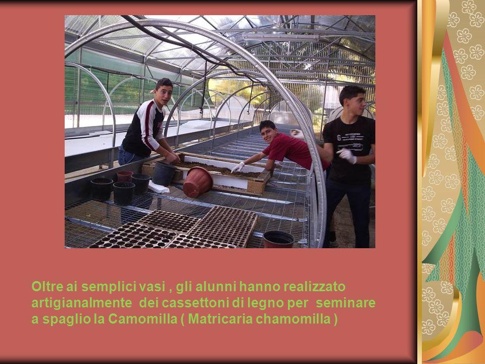 Oltre ai semplici vasi , gli alunni hanno realizzato artigianalmente dei cassettoni di legno per seminare a spaglio la Camomilla ( Matricaria chamomilla )