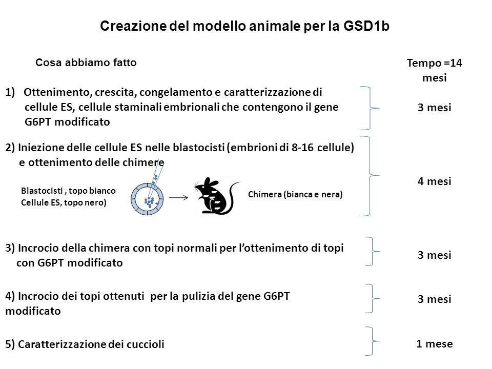 Creazione del modello animale per la GSD1b