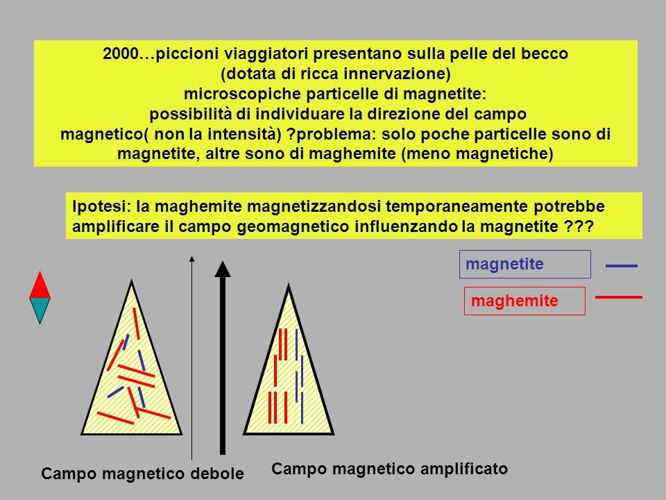 2000…piccioni viaggiatori presentano sulla pelle del becco (dotata di ricca innervazione) microscopiche particelle di magnetite: possibilità di individuare la direzione del campo magnetico( non la intensità) problema: solo poche particelle sono di magnetite, altre sono di maghemite (meno magnetiche)