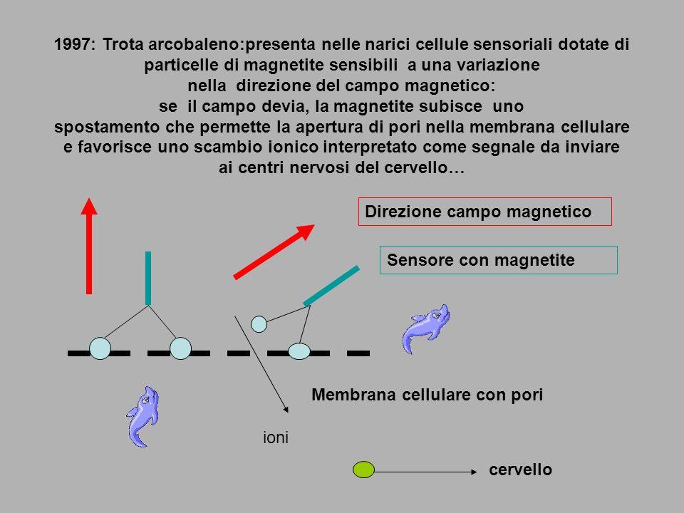 1997: Trota arcobaleno:presenta nelle narici cellule sensoriali dotate di particelle di magnetite sensibili a una variazione nella direzione del campo magnetico: se il campo devia, la magnetite subisce uno spostamento che permette la apertura di pori nella membrana cellulare e favorisce uno scambio ionico interpretato come segnale da inviare ai centri nervosi del cervello…