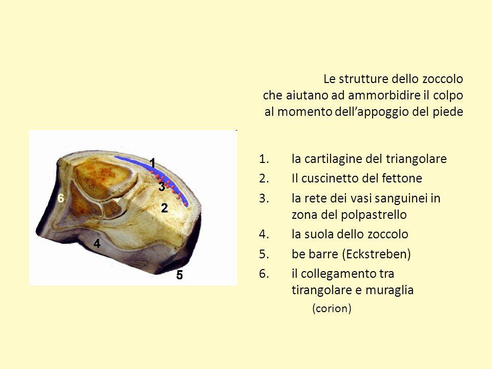 la cartilagine del triangolare Il cuscinetto del fettone