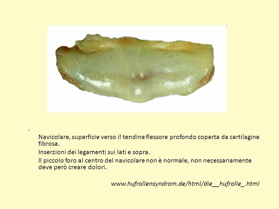 Navicolare, superficie verso il tendine flessore profondo coperta da cartilagine fibrosa.
