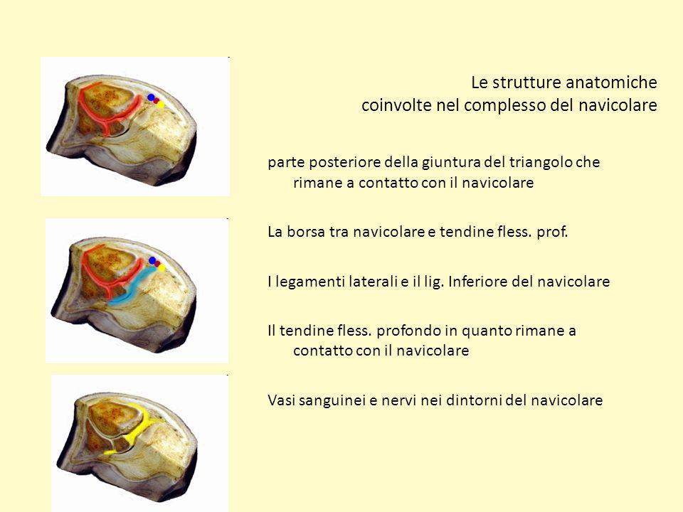 Le strutture anatomiche coinvolte nel complesso del navicolare