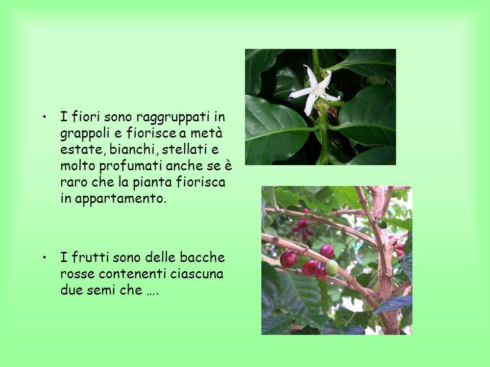 I fiori sono raggruppati in grappoli e fiorisce a metà estate, bianchi, stellati e molto profumati anche se è raro che la pianta fiorisca in appartamento.